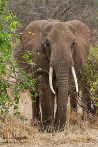 African Elephant - Tarangire National Park, Tanzania