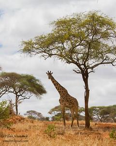 Masaai Giraffe Baby near Acacia tree - Tarangire National Park, Tanzania