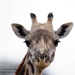 Masaai Giraffe - Tarangire National Park, Tanzania