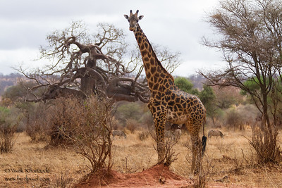 Masaai Giraffe with Baobab tree - Tarangire National Park, Tanzania