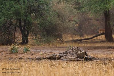 Giraffe carcass - possibly killed by a snakebite - Tarangire National Park, Tanzania