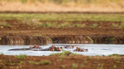 Hippopotamuses - Lake Manyara National Park, Tanzania