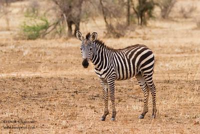 Plains Zebra foal - Tarangire National Park, Tanzania