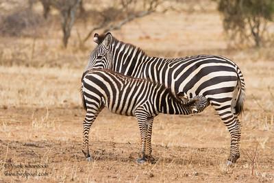 Plains Zebra mother and foal - Tarangire National Park, Tanzania
