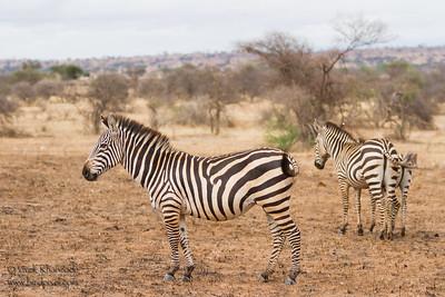 Plans Zebra Family - Tarangire National Park, Tanzania