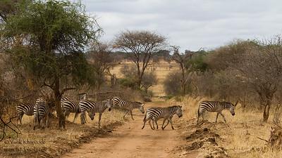 Zebra Crossing - Tarangire National Park, Tanzania