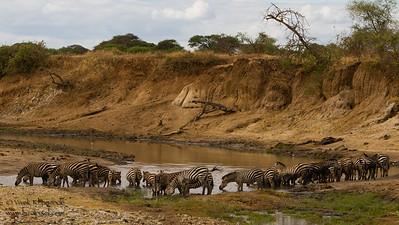 Plains Zebra - Tarangire National Park, Tanzania