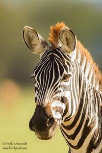 Plains Zebra Portrait - Lake Manyara National Park, Tanzania