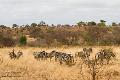 Plains Zebras - Tarangire National Park, Tanzania