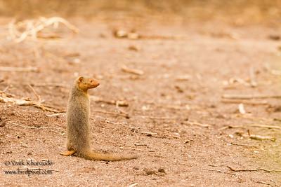 Dwarf Mongoose - Lake Manyara National Park, Tanzania