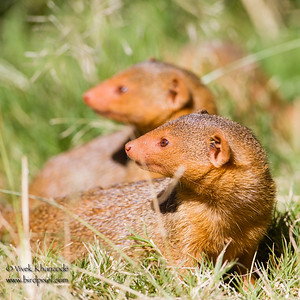 Dwarf Mongoose - Serengeti National Park, Tanzania