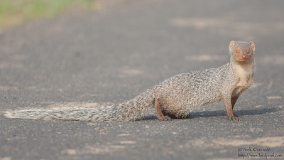 Indian Gray Mongoose - Kutch, Gujrat, India