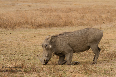 Warthog kneeling - Ngorongoro Crater, Tanzania