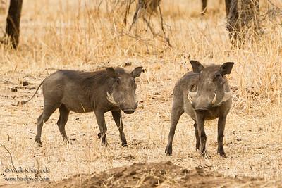 Common Warthogs - Tarangire National Park, Tanzania