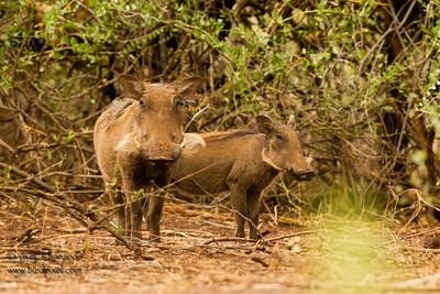 Mr. & Mrs. Pumba - Lake Manyara National Park, Tanzania