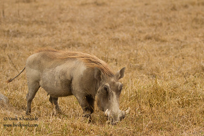 Warthog - Ngorongoro Crater, Tanzania