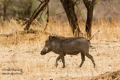 Warthog - Tarangire National Park, Tanzania