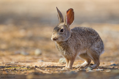 Desert Cottontail - Salton Sea, CA, USA
