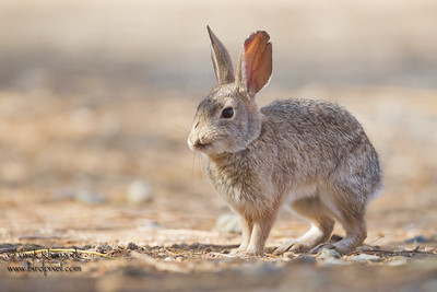 Desert Cottontail - SBSSNWR Headquarters, Salton Sea Area, CA, USA