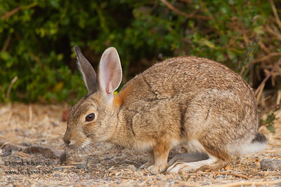 Desert Cottontail - Palo Alto, CA, USA