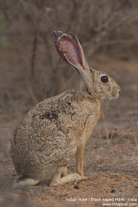 Indian Hare / Black-naped Hare - Kutch, Gujrat, India