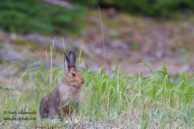 White-tailed Jackrabbit - Rocky Mountain National Park, CO, USA