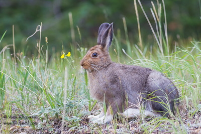 White-tailed Jackrabbit - Rocky Mountain National Park, CO, USA