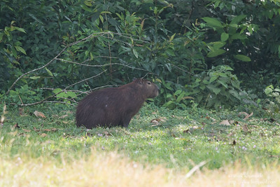 Capybara - Record - Gamboa Rainforest Resort, Gamboa, PA