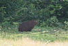 Capybara - Record - Gamboa Rainforest Resort, Gamboa, PA