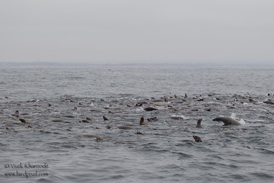 California Sea Lions- Near Moss Landing, CA, USA