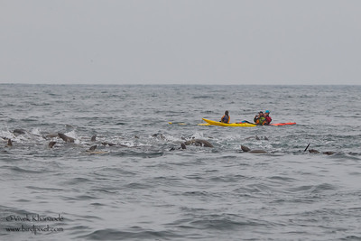 Three Kayakers watching the feeding frenzy of Humpback whales & California Sealions - Near Moss Landing, CA, USA