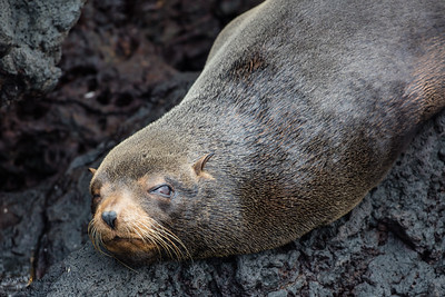 Galapagos Fur Seal - Galapagos, Ecuador