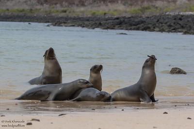 Galapagos Sealion - Galapagos, Ecuador