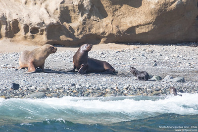 South American Sea Lion - Chile
