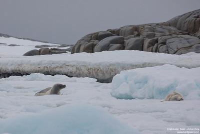 Crabeater Seal - Antarctica