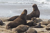 Northern Elephant Seal - Males fighting - Año Nuevo State Park, CA, USA