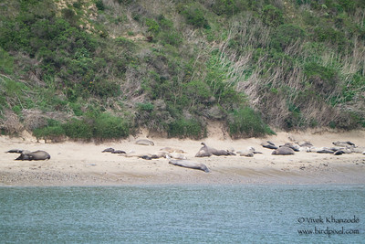 Northern Elephant Seals at Chimney Rock - Point Reyes National Seashore, CA, USA