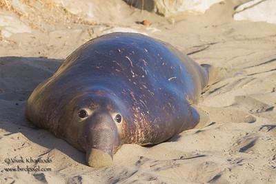Northern Elephant Seal - Piedras Blancas, CA, USA