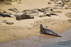 Northern Elephant Seals at Chimney Rock - Point Reyes National Seashore, CA, USA