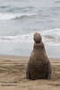 Northern Elephant Seal - Piedras Blancas, CA, USA