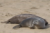 """Northern Elephant Seal """"weaner"""" - Año Nuevo State Park, CA, USA"""