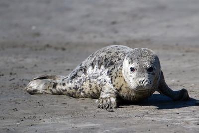Northern Elephant Seal - Moss Landing, CA, USA