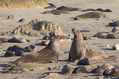 Northern Elephant Seals - Piedras Blancas, CA, USA