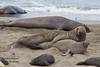 Northern Elephant Seals - Piedras Blancas, CA, USA
