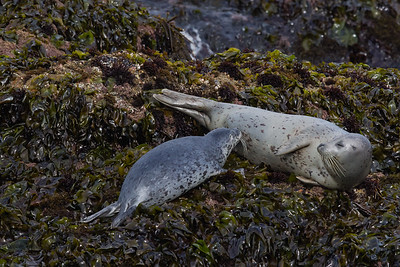 Pacific Harbor Seal with pup - Pigeon Point Lighthouse, CA, USA