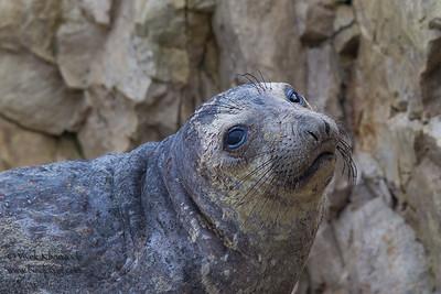 Pacific Harbor Seal Portrait - Pescadero, CA, USA