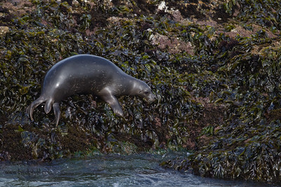 Pacific Harbor Seal - Pigeon Point Lighthouse, CA, USA