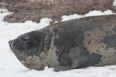 Southern Elephant Seal  - Antarctica