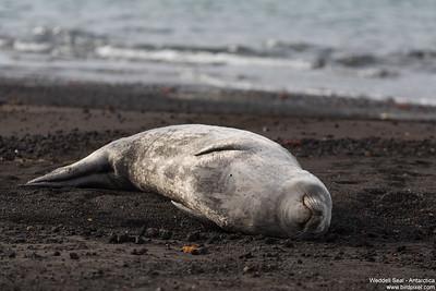 Weddell Seal - Antarctica