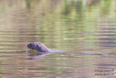 Giant River Otter - Oxbow lake near Tambo Blanquillo Lodge, Peru